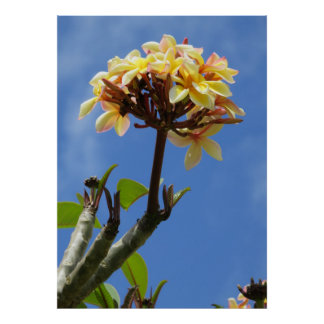 Cattleya Orchids growing on a Plumeria Tree Poster