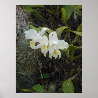 Cattleya Orchids Poster