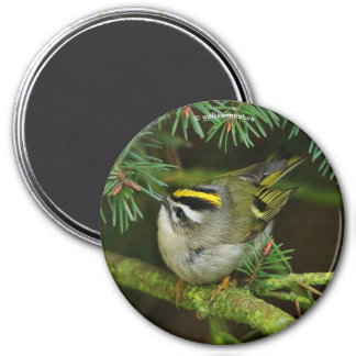 Causing a Stir in the Fir: Golden-Crowned Kinglet 7.5 Cm Round Magnet