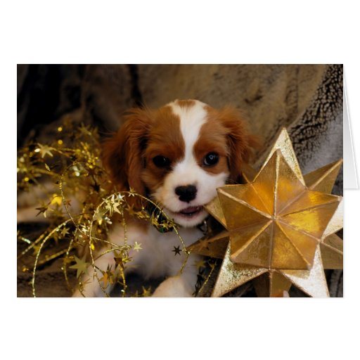 Cavalier King Charles Holiday Star Card