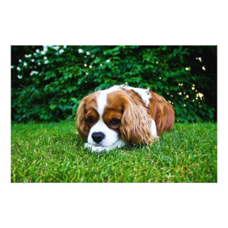 Cavalier King Charles Spaniel Blenheim in Grass Photo Print