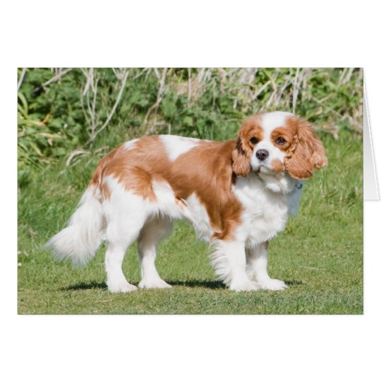 Cavalier King Charles Spaniel dog blank note card