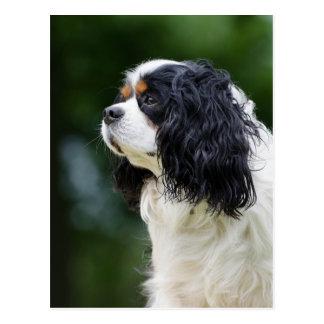 Cavalier King Charles Spaniel dog lovers photo Postcard