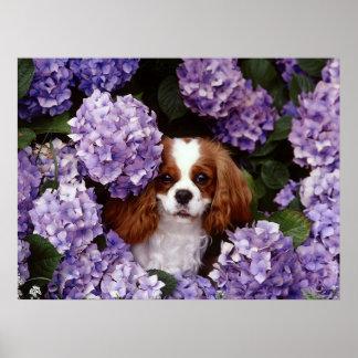 Cavalier King Charles Spaniel Dog Poster