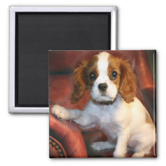 Cavalier King Charles Spaniel gifts & apparel Square Magnet