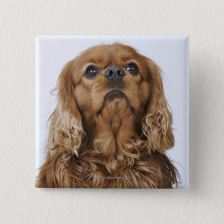 Cavalier King Charles Spaniel looking up 15 Cm Square Badge