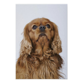 Cavalier King Charles Spaniel looking up Poster