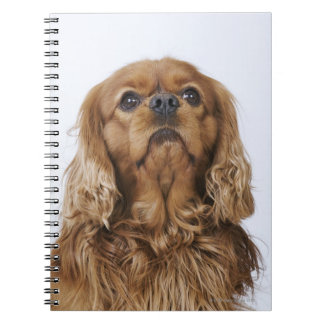 Cavalier King Charles Spaniel looking up Spiral Notebook