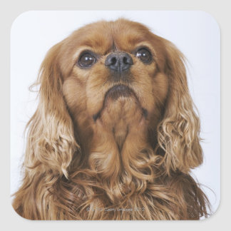 Cavalier King Charles Spaniel looking up Square Sticker