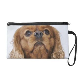 Cavalier King Charles Spaniel looking up Wristlet