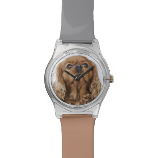 Cavalier King Charles Spaniel looking up Wristwatch