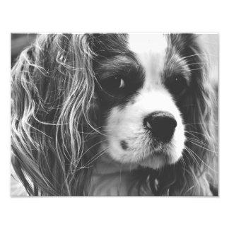 Cavalier King Charles Spaniel Photo Print