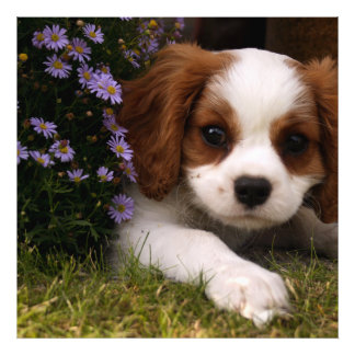 Cavalier King Charles Spaniel Puppy behind flowers Photo Art
