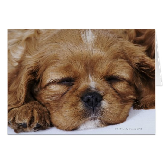 Cavalier King Charles Spaniel puppy sleeping Card