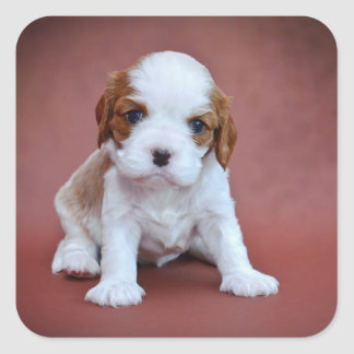 Cavalier King Charles Spaniel puppy Square Sticker