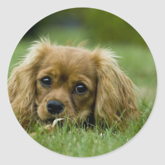 Cavalier King Charles Spaniel Ruby Classic Round Sticker