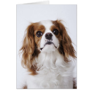 Cavalier King Charles Spaniel sitting in studio Card
