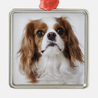 Cavalier King Charles Spaniel sitting in studio Christmas Ornament