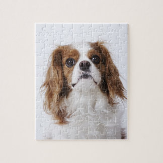 Cavalier King Charles Spaniel sitting in studio Jigsaw Puzzle