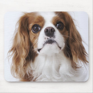 Cavalier King Charles Spaniel sitting in studio Mousepads
