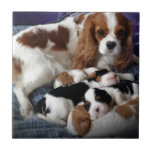 Cavalier Mum and Babies