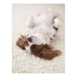 Cavalier showing belly postcard