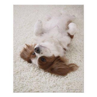 Cavalier showing belly poster