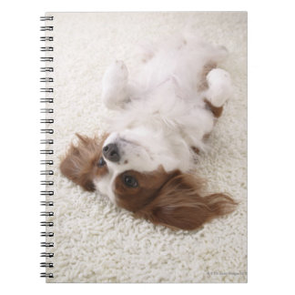 Cavalier showing belly spiral note book