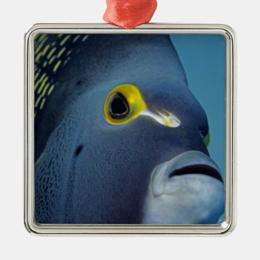 Cayman Islands, French Angelfish Pomacanthus Ornament