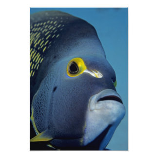 Cayman Islands, French Angelfish Pomacanthus Photograph