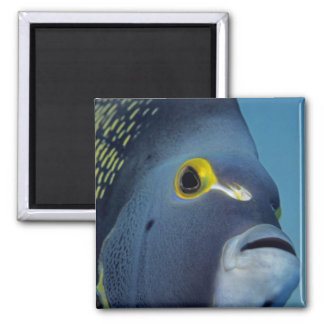Cayman Islands, French Angelfish Pomacanthus Square Magnet