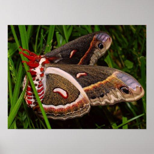 Cecropeous Moth Poster