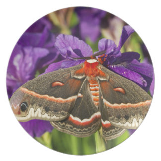 Cecropia Moth in flower garden Plate