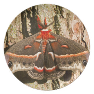 Cecropia Moth on tree trunk Plate