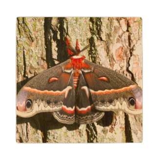 Cecropia Moth on tree trunk Wood Coaster