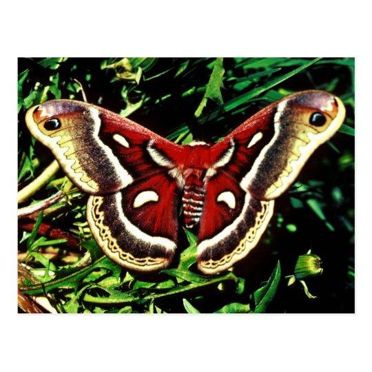 Cecropia moth postcard