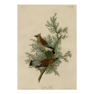 Cedar Bird Poster