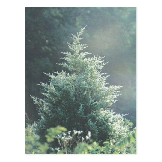 Cedar Tree Postcard
