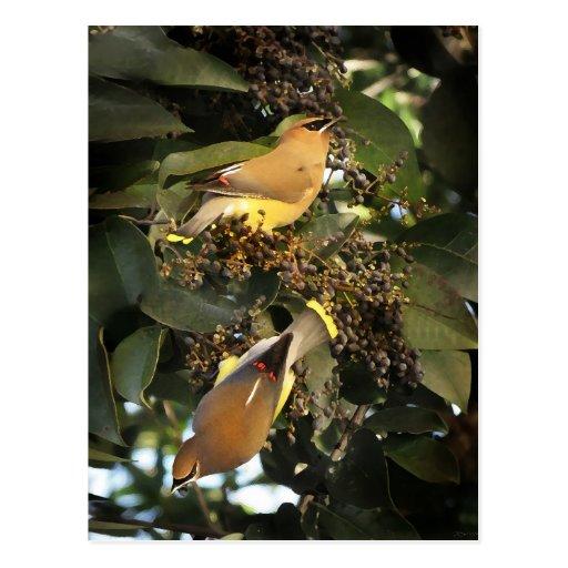 Cedar Waxwing Birds Card Postcards