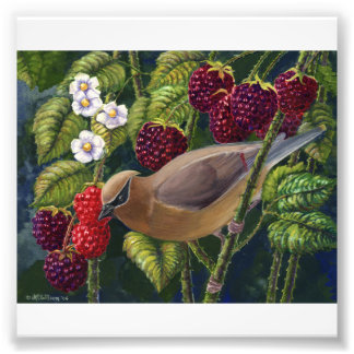 Cedar Waxwing in Raspberries photo print