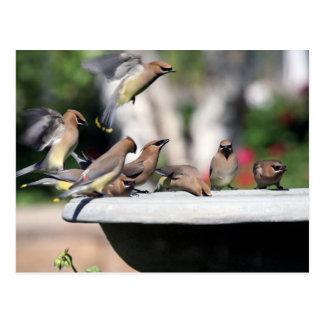 Cedar Waxwings at Bird Bath Postcard