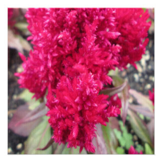 Celosia Red Garden Flower Announcements