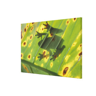 CENTRAL AMERICA, Costa Rica, Back-lit frog on Canvas Print