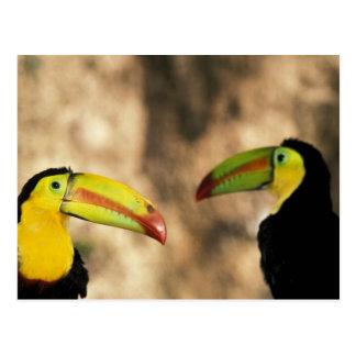Central America, Honduras. Keel-billed Toucan 2 Postcard