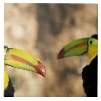 Central America, Honduras. Keel-billed Toucan 2 Tile