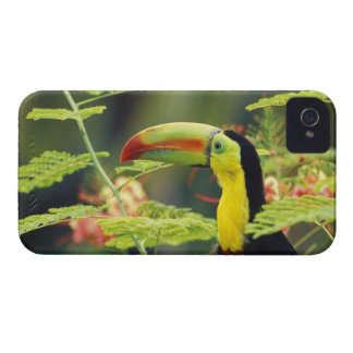 Central America, Honduras. Keel-billed Toucan iPhone 4 Case-Mate Cases