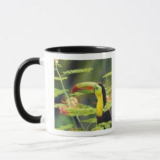 Central America, Honduras. Keel-billed Toucan Mug