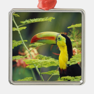 Central America, Honduras. Keel-billed Toucan Silver-Colored Square Decoration