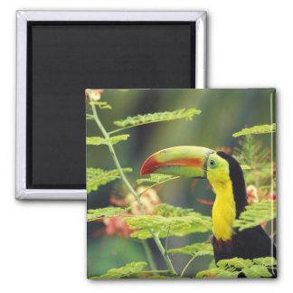 Central America, Honduras. Keel-billed Toucan Square Magnet