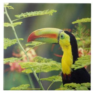 Central America, Honduras. Keel-billed Toucan Tile